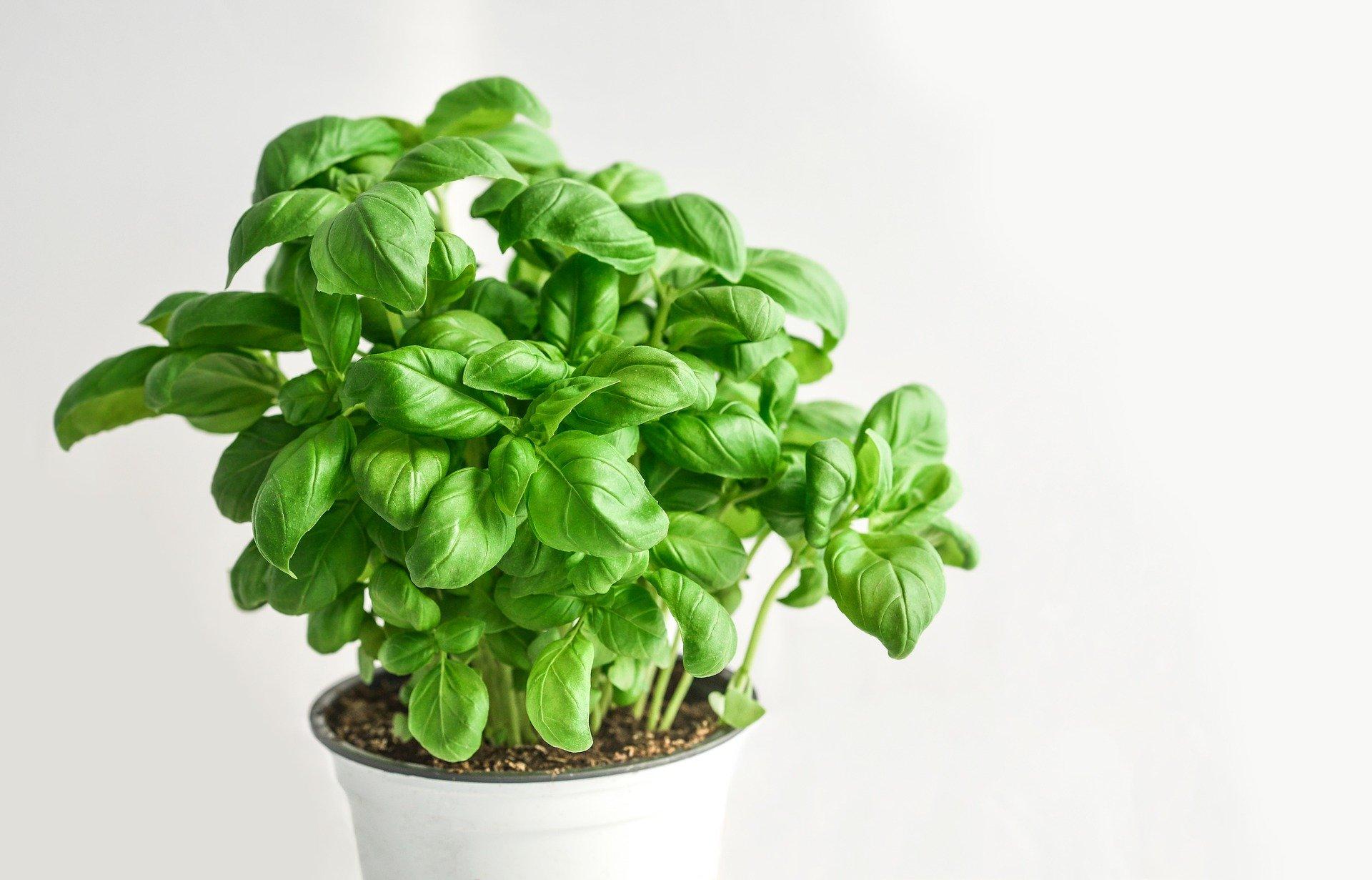 Comment cultiver du basilic biologique ?
