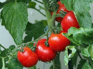 Tomates : quels avantages pour notre santé?